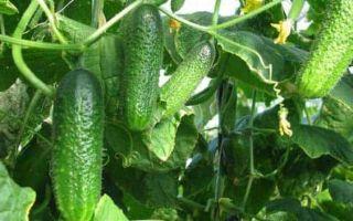 Как выбрать семена огурцов?