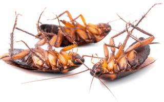 Регент від тарганів — надійний засіб, що захищає ваше житло від комах. Як розводити засіб і як з ним правильно працювати для досягнення максимального результату? Відгуки покупців