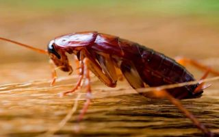 Найефективніші способи позбавлення від тарганів в домашніх умовах. Принципи, якими необхідно керуватися в боротьбі з комахами