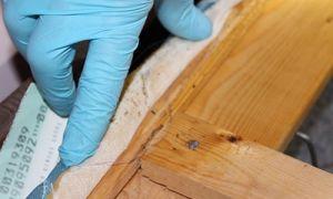 Все о мебельных клопах: описание насекомого, представляет ли опасность для человека, как избавиться навсегда, профилактика повторного появления