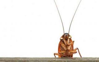 Откуда появляются тараканы и как от них избавиться?