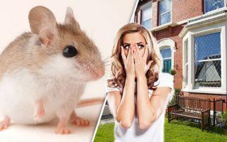Как избавиться от мышей в доме?