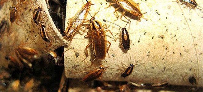 10 главных опасностей, которые таят в себе тараканы для человека