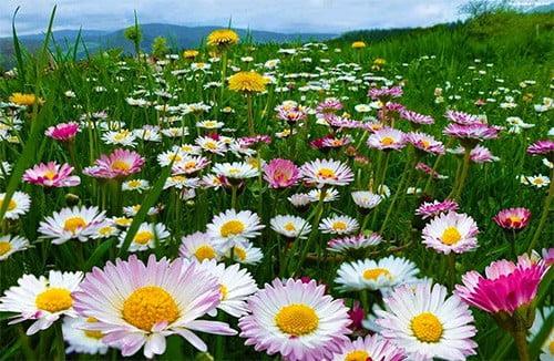 цветы полевые