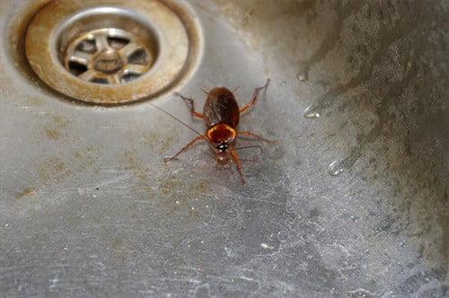 Приманки для тараканов с борной кислотой