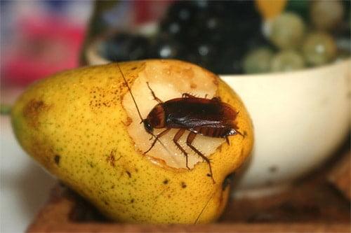 таракан ест грушу