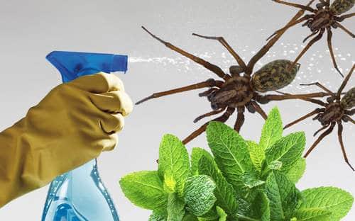 спрей с мятой от пауков