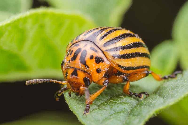 колорадский жук на листке