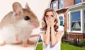 мыши в доме как избавиться
