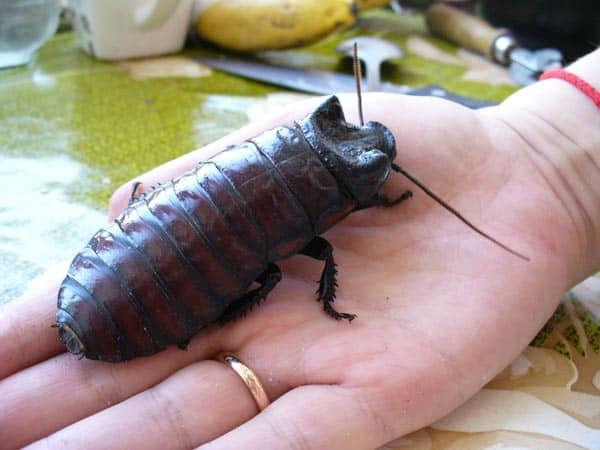 большой таракан в руке