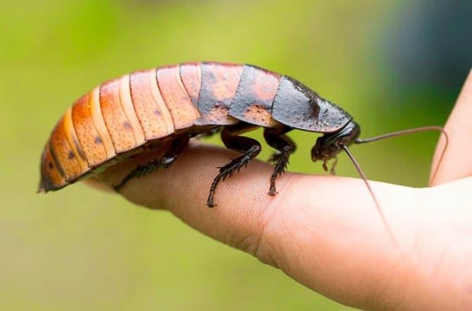 мадагаскарский таракан на пальце