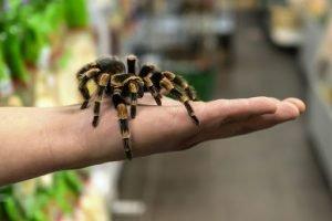 домашний паук на руке