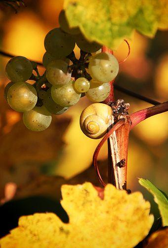 слизень на винограде