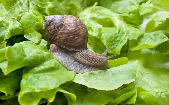 слизень на листьях салата